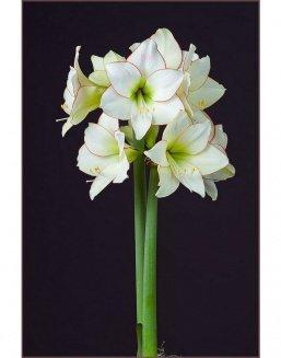 Bouquet of 15 white amaryllis | Flowers on Knowledge Day