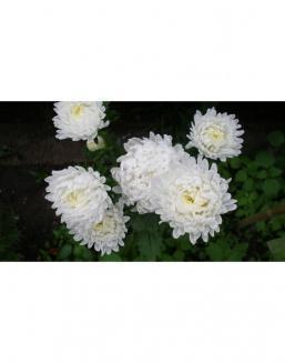 Bouquet of 51 white asters | Asters flowers