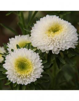 Bouquet of 25 white asters | Asters flowers