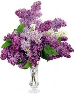 Bouquet of 25 violet lilac | 25 flowers flowers