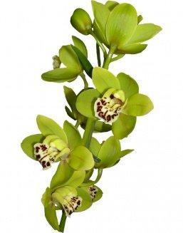 Bouquet of an orchid green | 15 flowers flowers